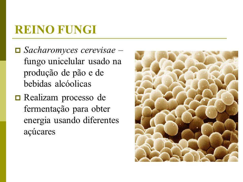 REINO FUNGI Sacharomyces cerevisae –fungo unicelular usado na produção de pão e de bebidas alcóolicas.