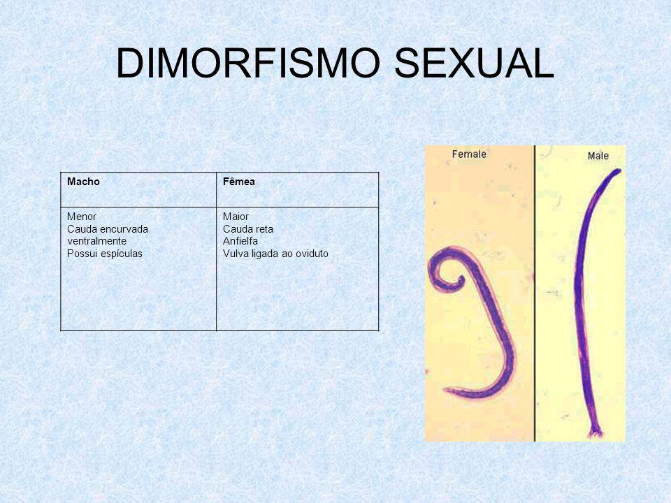 DIMORFISMO SEXUAL Macho Fêmea Menor