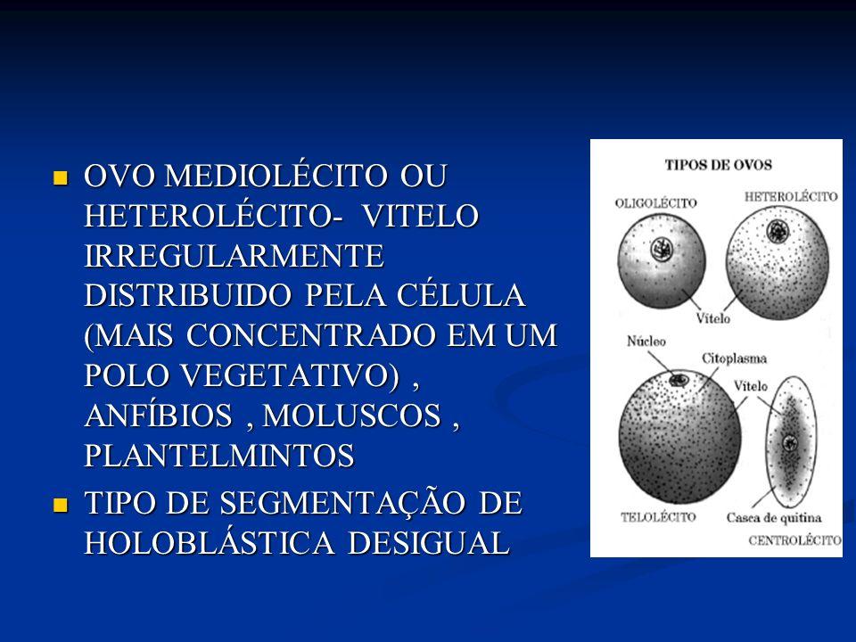 OVO MEDIOLÉCITO OU HETEROLÉCITO- VITELO IRREGULARMENTE DISTRIBUIDO PELA CÉLULA (MAIS CONCENTRADO EM UM POLO VEGETATIVO) , ANFÍBIOS , MOLUSCOS , PLANTELMINTOS