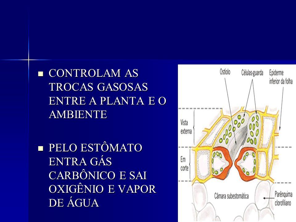 CONTROLAM AS TROCAS GASOSAS ENTRE A PLANTA E O AMBIENTE