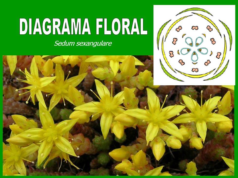 DIAGRAMA FLORAL Sedum sexangulare