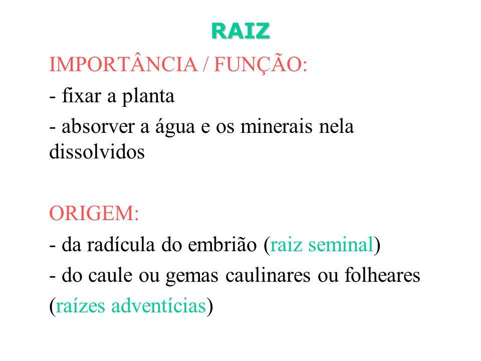 RAIZ IMPORTÂNCIA / FUNÇÃO: - fixar a planta. - absorver a água e os minerais nela dissolvidos. ORIGEM: