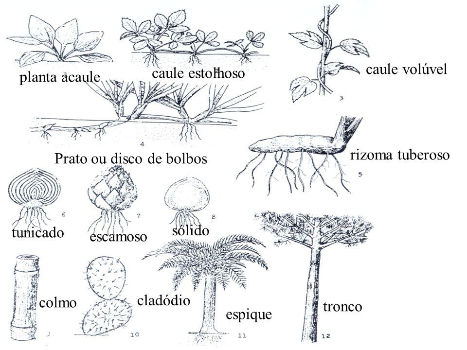 caule volúvel caule estolhoso. planta acaule. rizoma tuberoso. Prato ou disco de bolbos. tunicado.