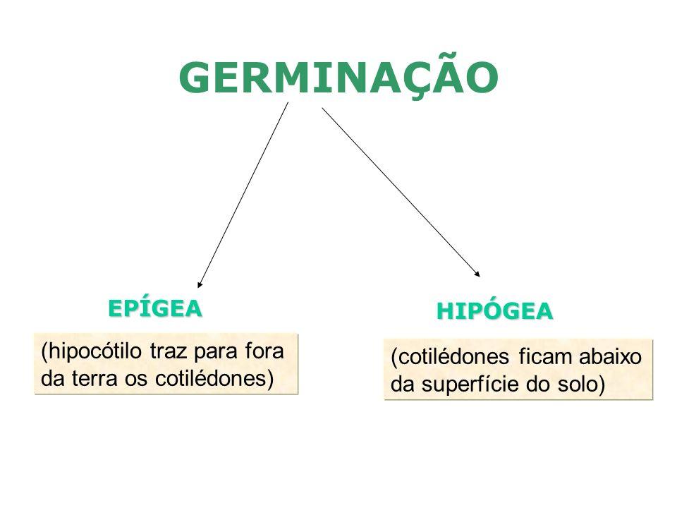 GERMINAÇÃO EPÍGEA HIPÓGEA (hipocótilo traz para fora