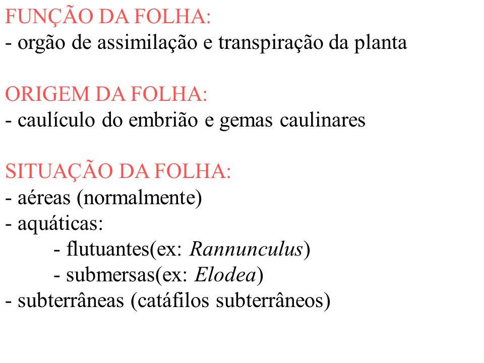 FUNÇÃO DA FOLHA: - orgão de assimilação e transpiração da planta. ORIGEM DA FOLHA: - caulículo do embrião e gemas caulinares.