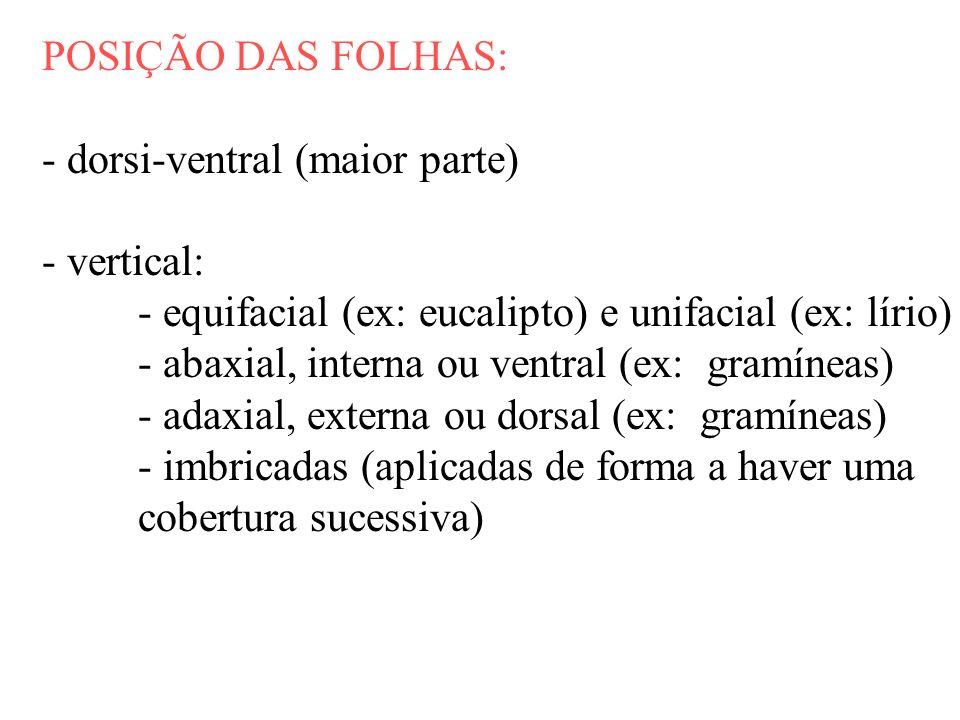 POSIÇÃO DAS FOLHAS: - dorsi-ventral (maior parte) - vertical: - equifacial (ex: eucalipto) e unifacial (ex: lírio)