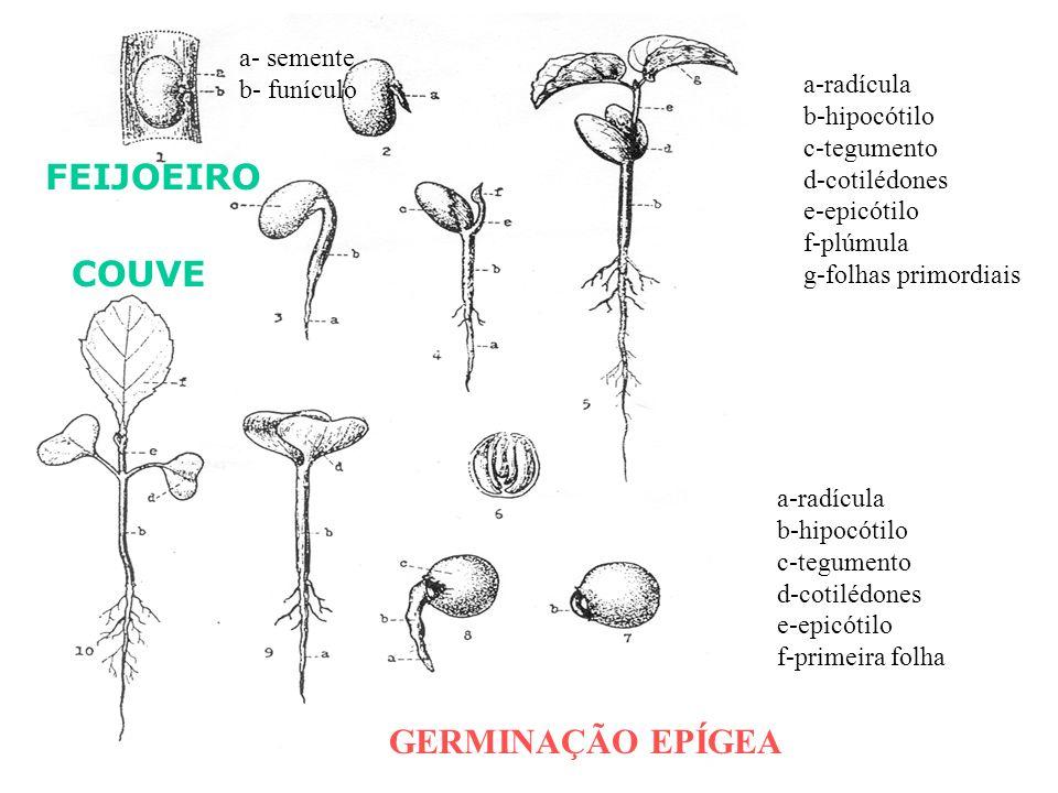 FEIJOEIRO COUVE GERMINAÇÃO EPÍGEA a- semente b- funículo a-radícula