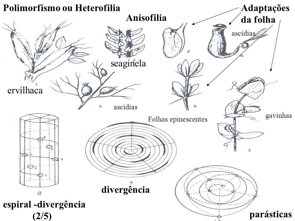 Polimorfismo ou Heterofilia Adaptações da folha Anisofilia