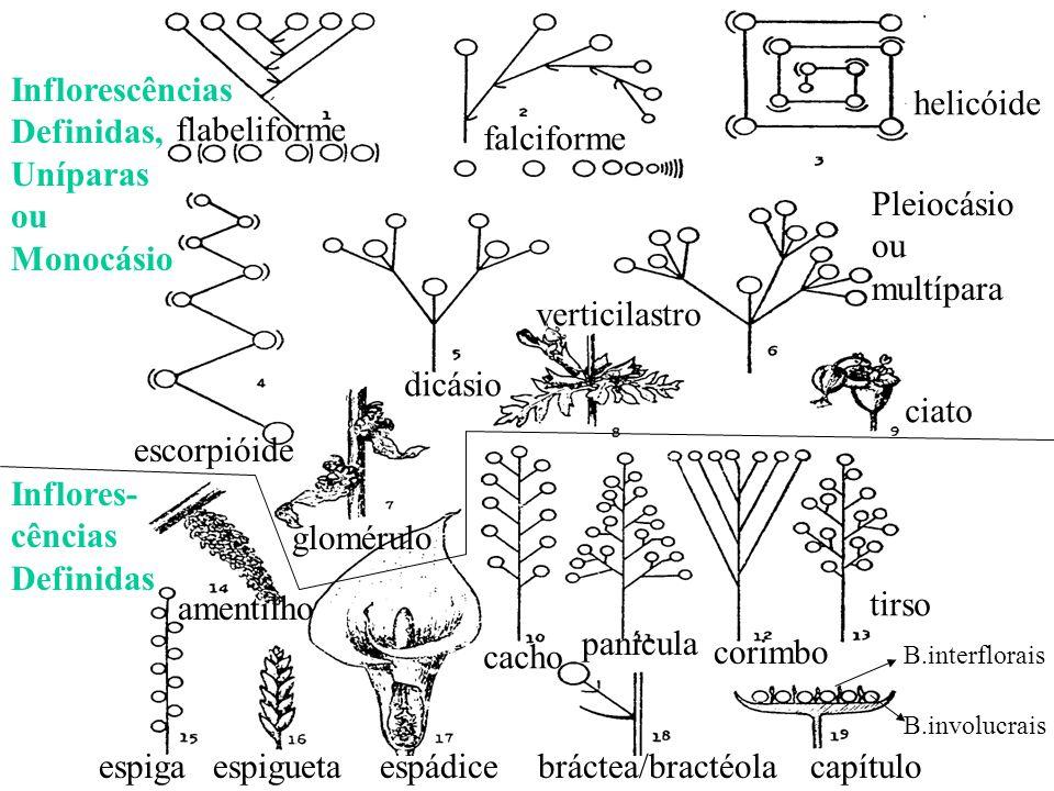 Inflorescências Definidas, Uníparas ou Monocásio helicóide