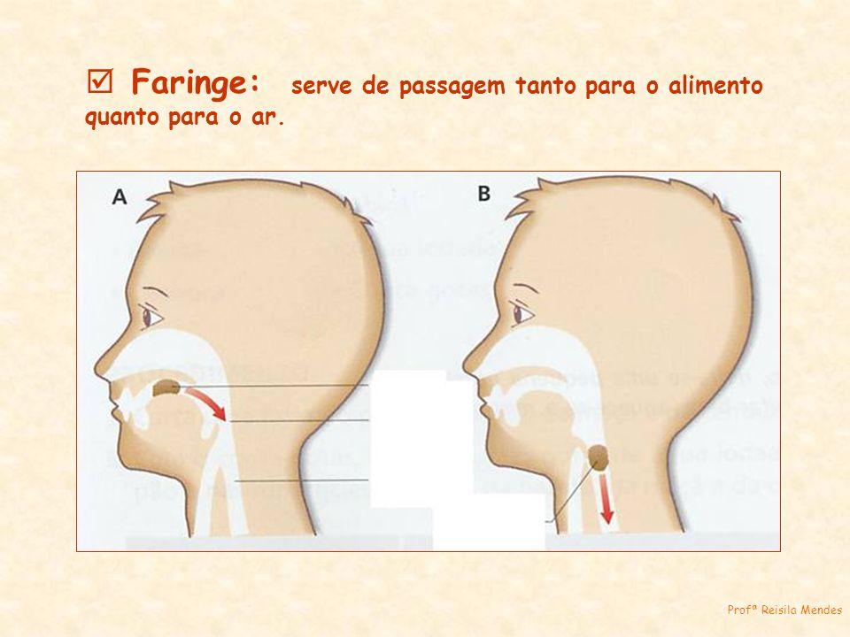 Faringe: serve de passagem tanto para o alimento quanto para o ar.