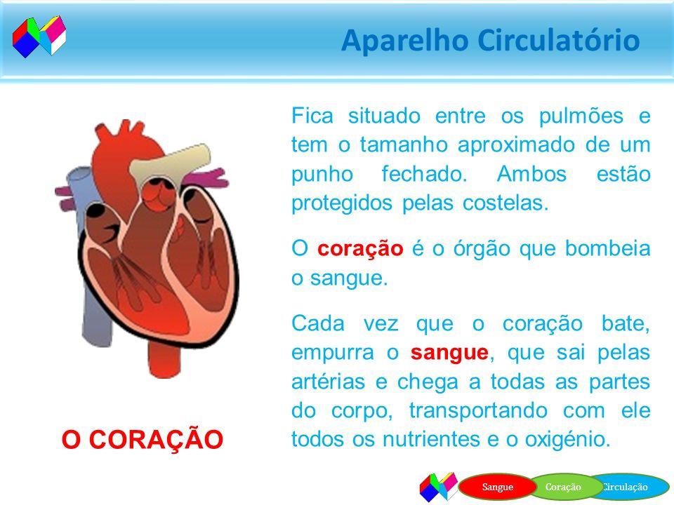 Fica situado entre os pulmões e tem o tamanho aproximado de um punho fechado. Ambos estão protegidos pelas costelas.