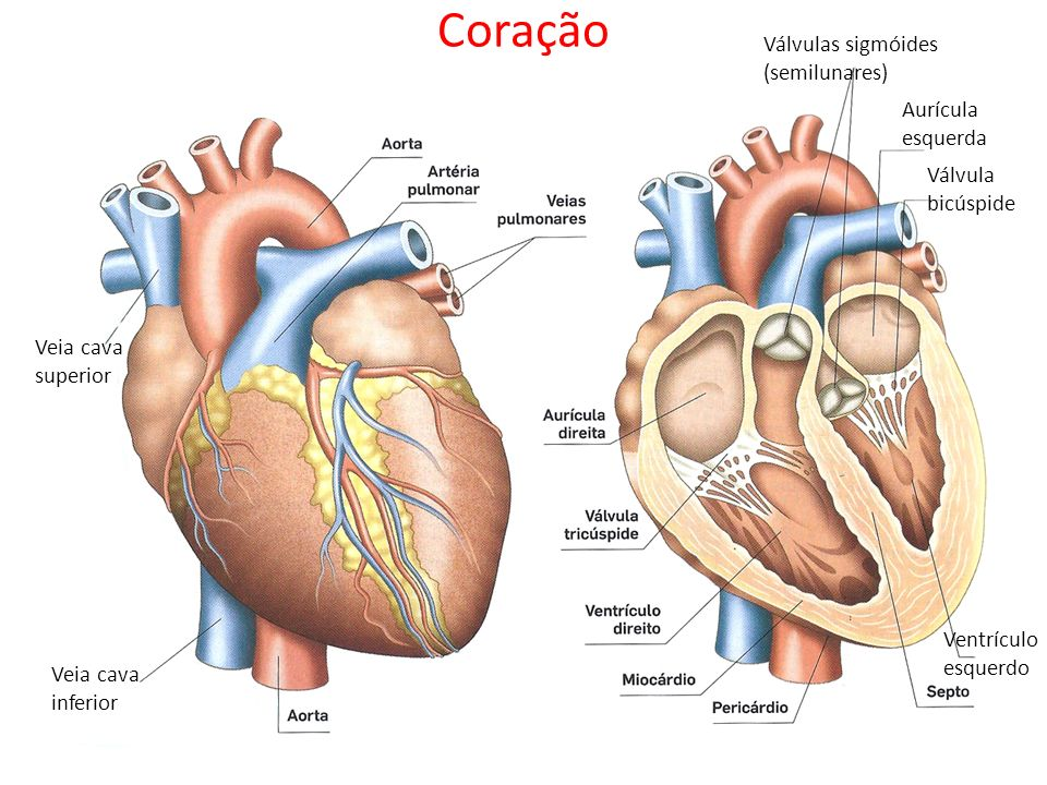 Coração Válvulas sigmóides (semilunares) Aurícula esquerda