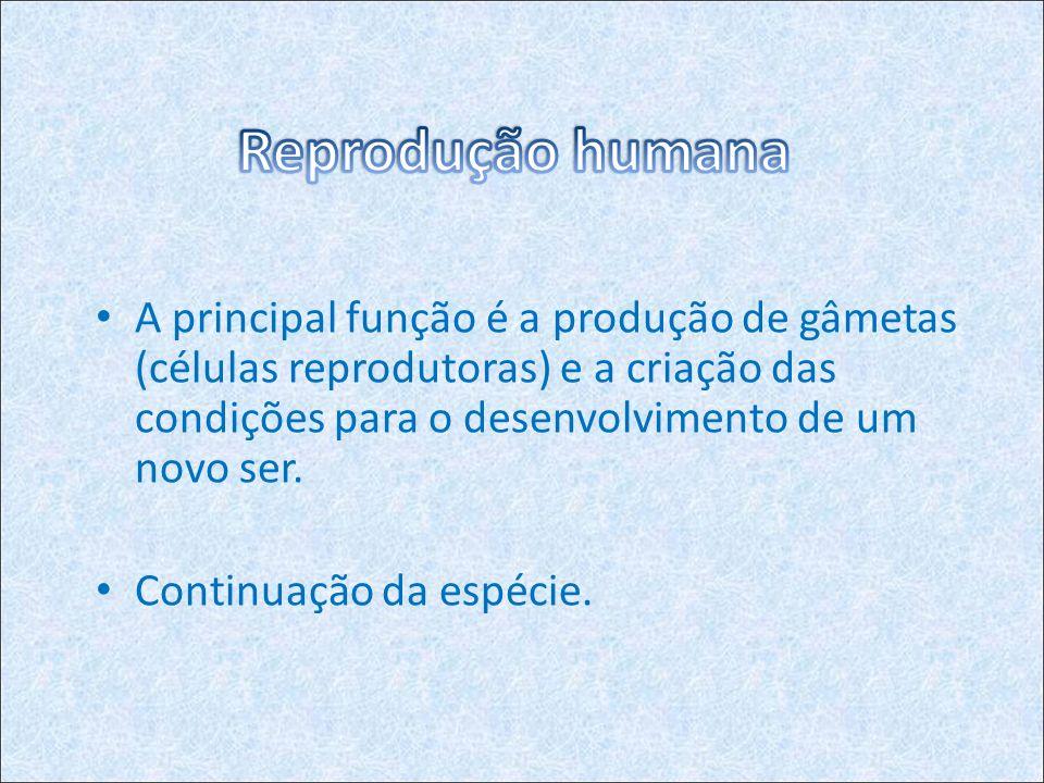 Reprodução humana A principal função é a produção de gâmetas (células reprodutoras) e a criação das condições para o desenvolvimento de um novo ser.