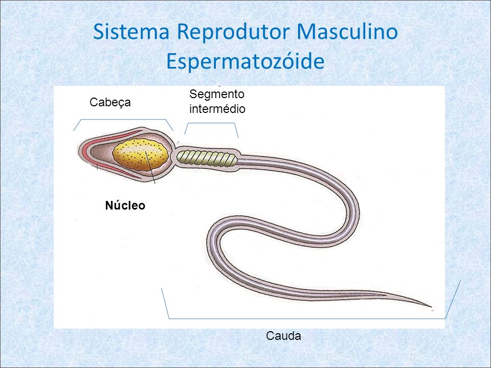 Sistema Reprodutor Masculino Espermatozóide