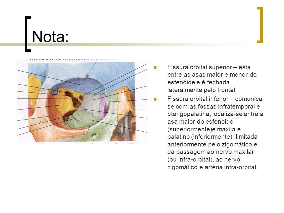 Nota:Fissura orbital superior – está entre as asas maior e menor do esfenóide e é fechada lateralmente pelo frontal;