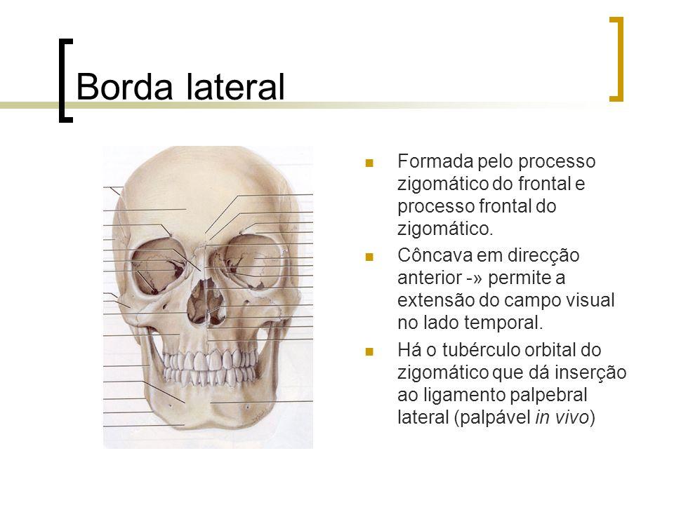 Borda lateral Formada pelo processo zigomático do frontal e processo frontal do zigomático.
