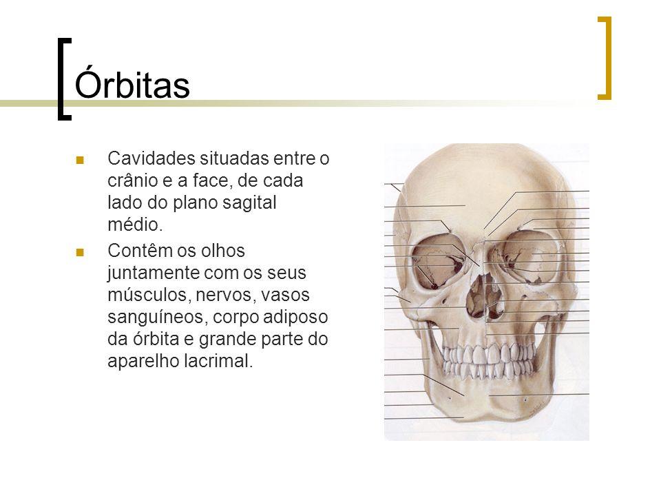 Órbitas Cavidades situadas entre o crânio e a face, de cada lado do plano sagital médio.