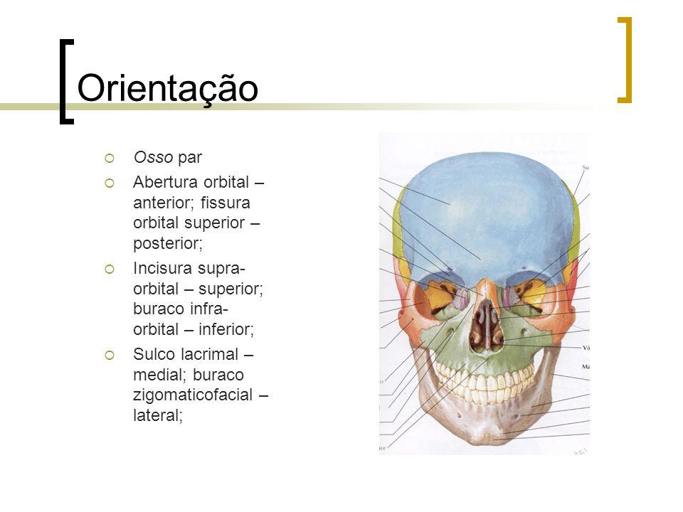 Orientação Osso par. Abertura orbital – anterior; fissura orbital superior – posterior;