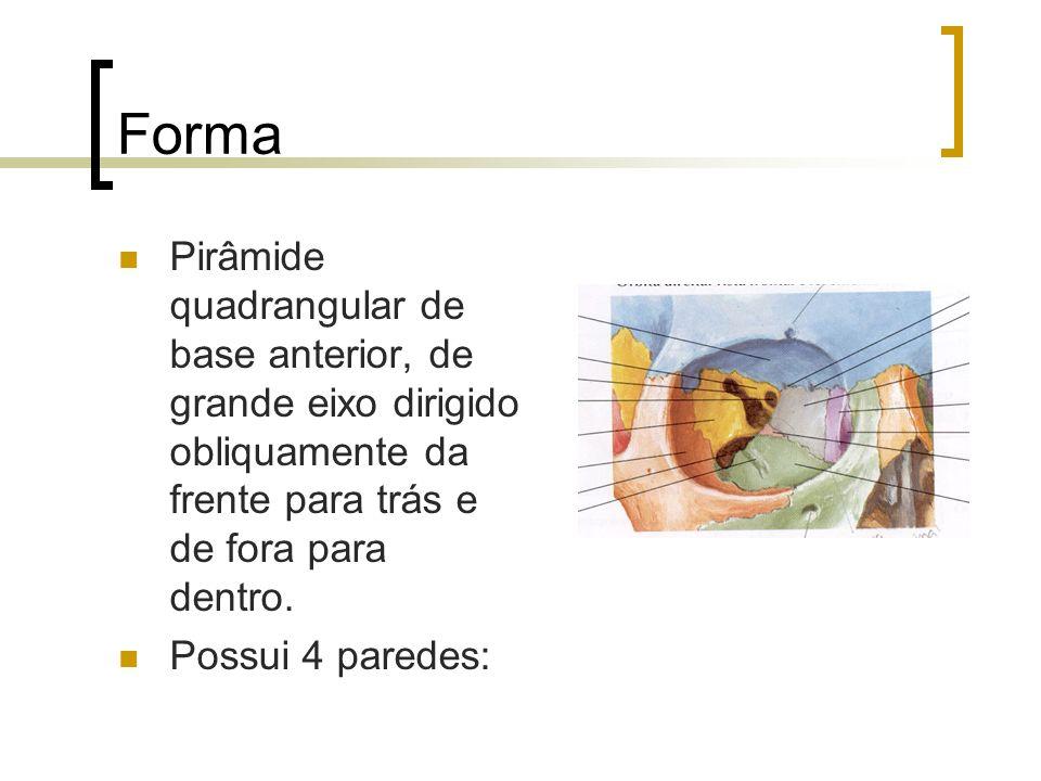 FormaPirâmide quadrangular de base anterior, de grande eixo dirigido obliquamente da frente para trás e de fora para dentro.
