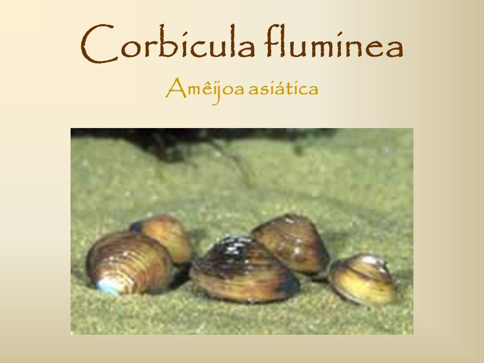 Corbicula fluminea Amêijoa asiática