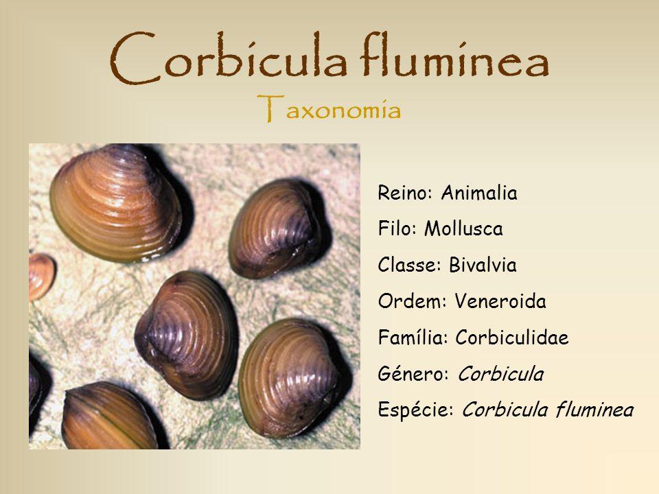 Corbicula fluminea Taxonomia Reino: Animalia Filo: Mollusca