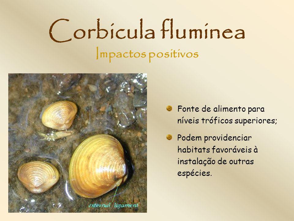 Corbicula fluminea Impactos positivos
