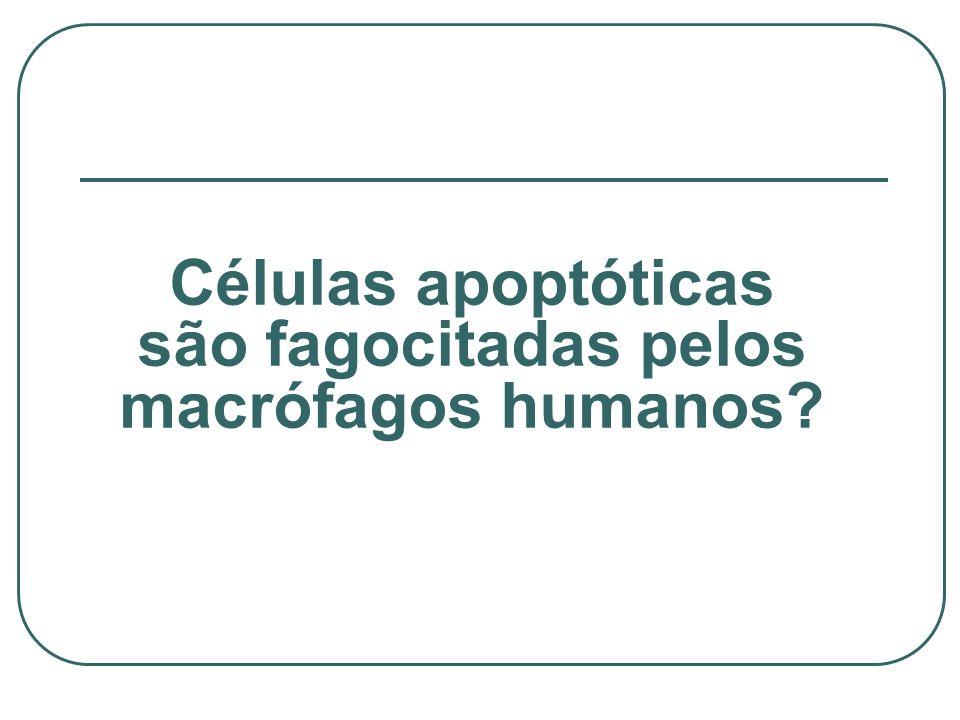Células apoptóticas são fagocitadas pelos macrófagos humanos