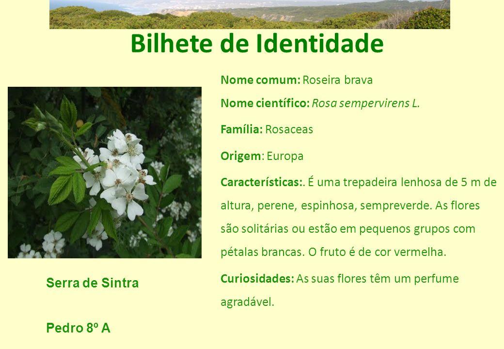 Bilhete de Identidade Nome comum: Roseira brava Nome científico: Rosa sempervirens L. Família: Rosaceas.