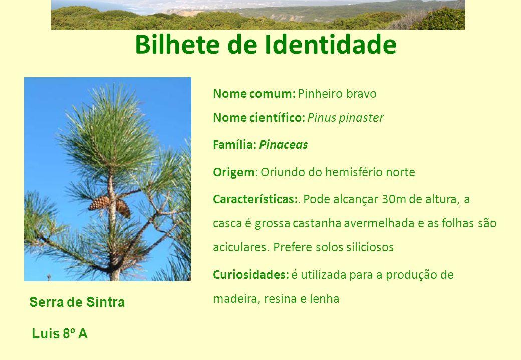 Bilhete de Identidade Nome comum: Pinheiro bravo Nome científico: Pinus pinaster. Família: Pinaceas.