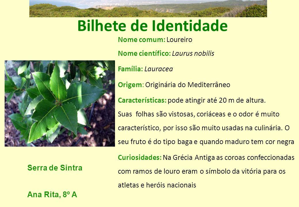 Bilhete de Identidade Nome comum: Loureiro Nome científico: Laurus nobilis. Família: Lauracea. Origem: Originária do Mediterrâneo.