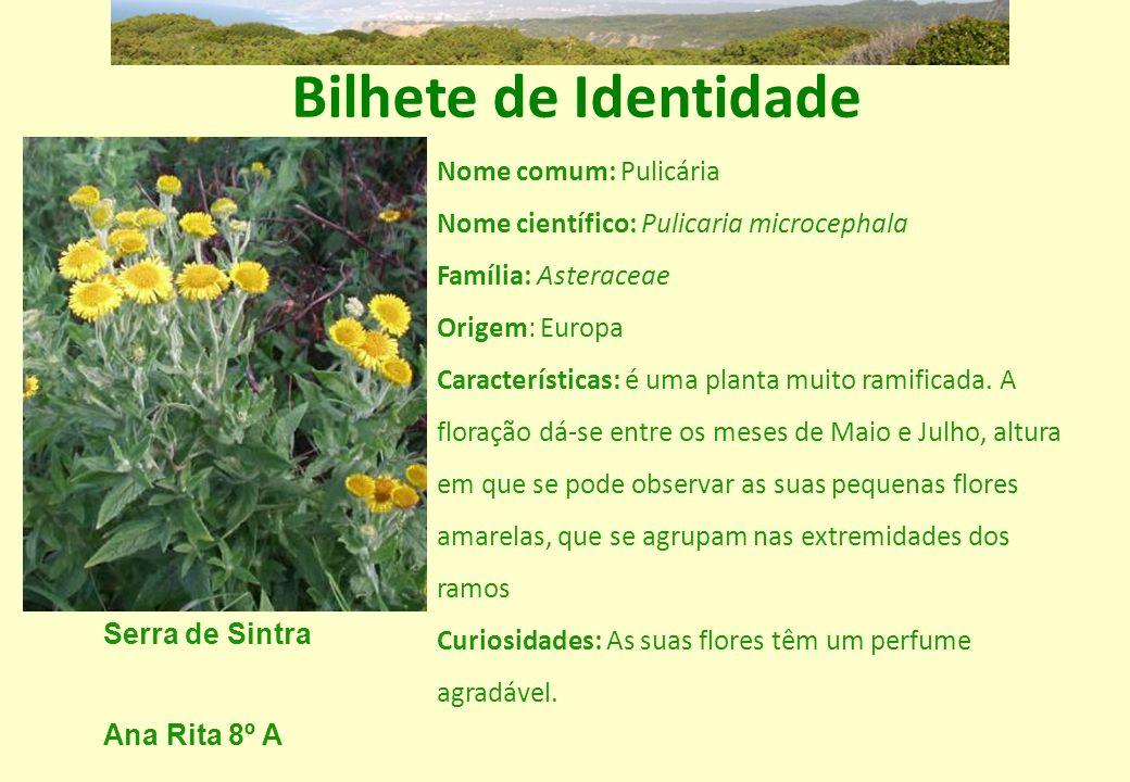 Bilhete de Identidade Nome comum: Pulicária Nome científico: Pulicaria microcephala. Família: Asteraceae.