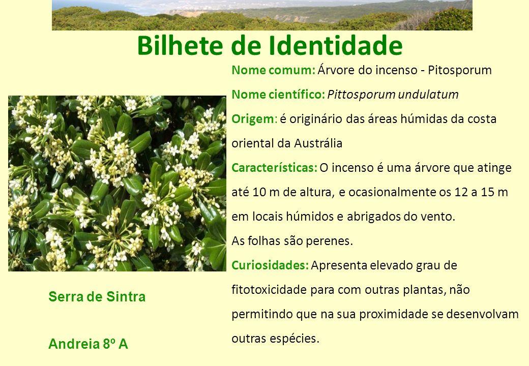 Bilhete de Identidade Nome comum: Árvore do incenso - Pitosporum Nome científico: Pittosporum undulatum.