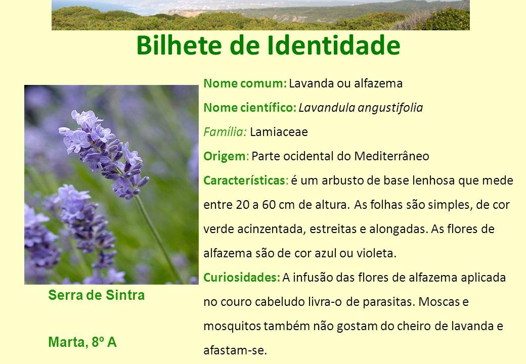 Bilhete de Identidade Nome comum: Lavanda ou alfazema Nome científico: Lavandula angustifolia. Família: Lamiaceae.