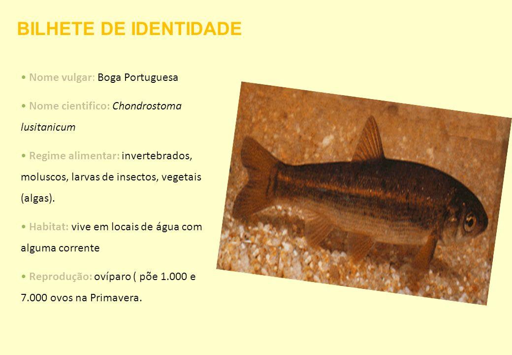 BILHETE DE IDENTIDADE Nome vulgar: Boga Portuguesa