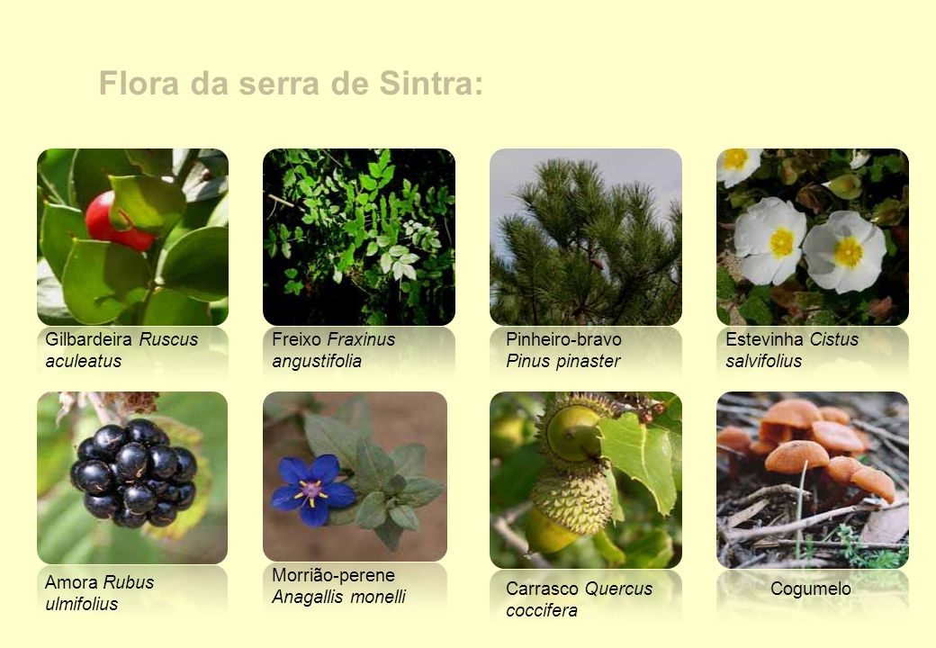 Flora da serra de Sintra: