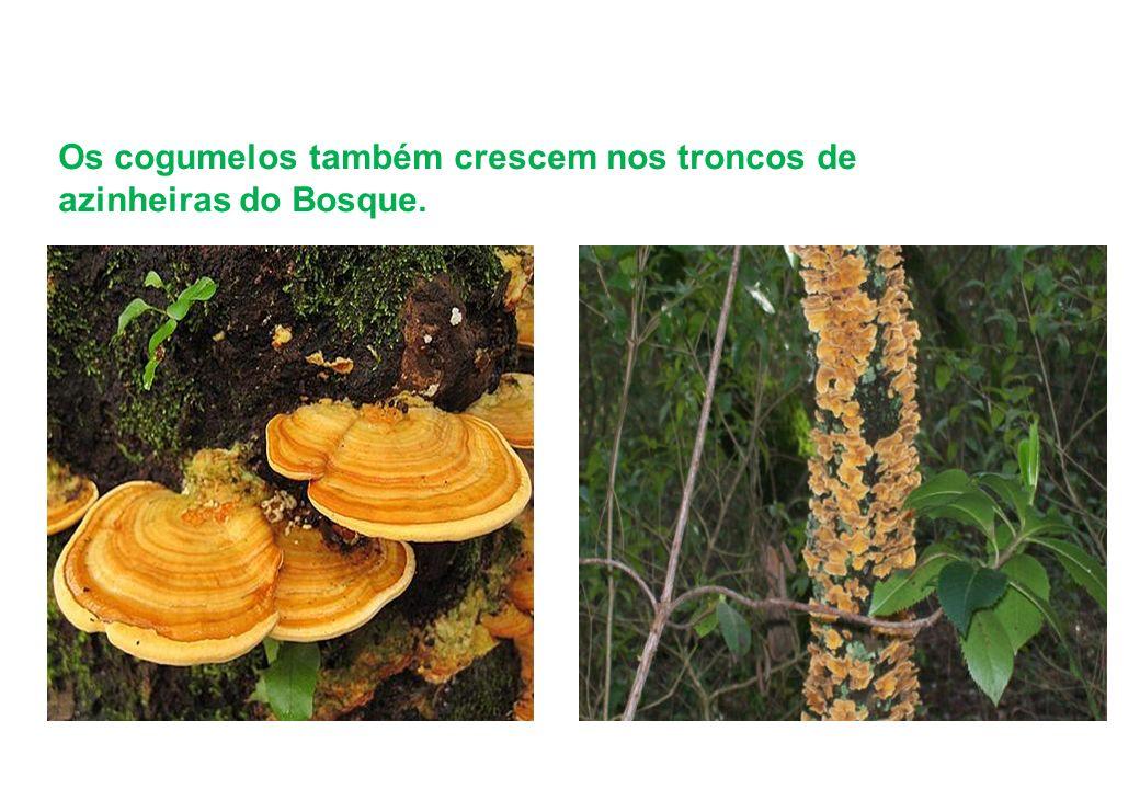 Os cogumelos também crescem nos troncos de azinheiras do Bosque.