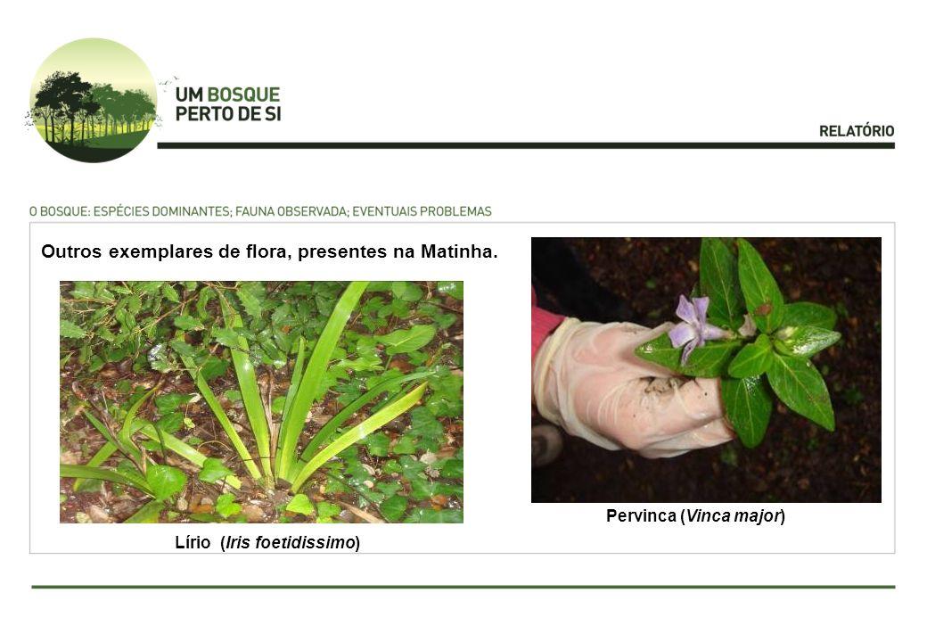 Pervinca (Vinca major) Lírio (Iris foetidissimo)