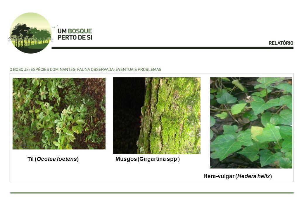 Til (Ocotea foetens) Musgos (Girgartina spp ) Hera-vulgar (Hedera helix)