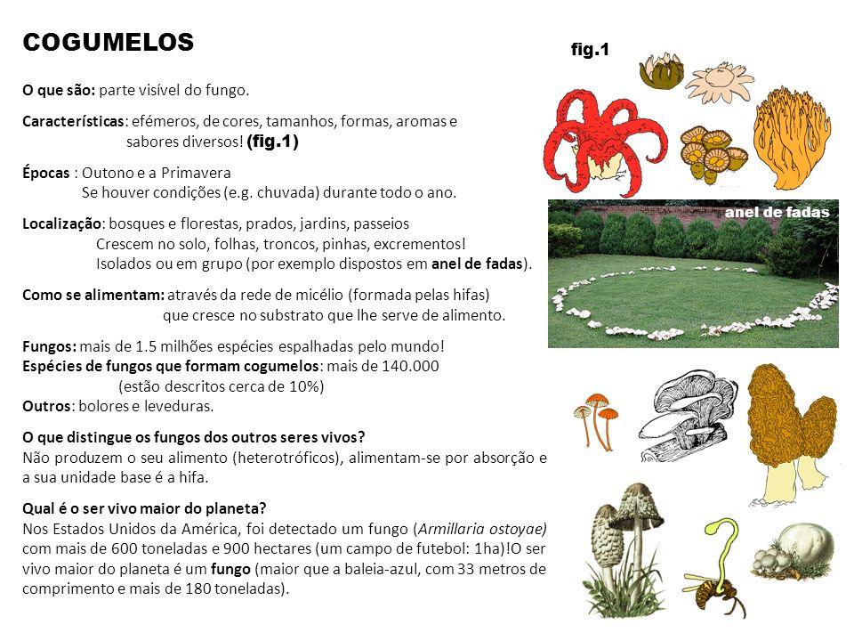 COGUMELOS fig.1 O que são: parte visível do fungo.
