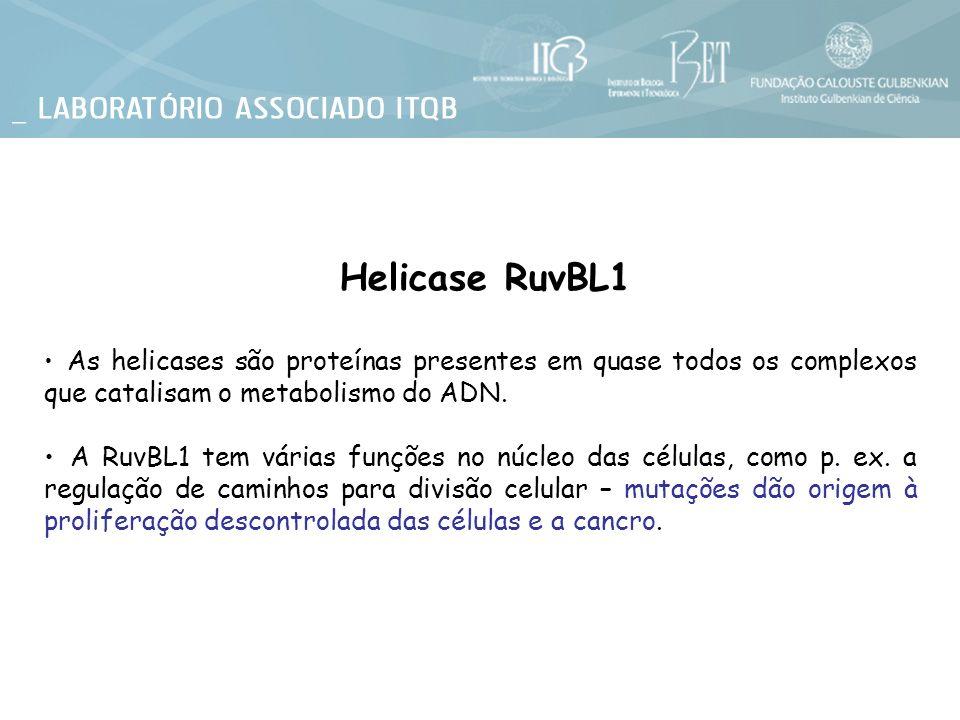 Helicase RuvBL1 As helicases são proteínas presentes em quase todos os complexos que catalisam o metabolismo do ADN.