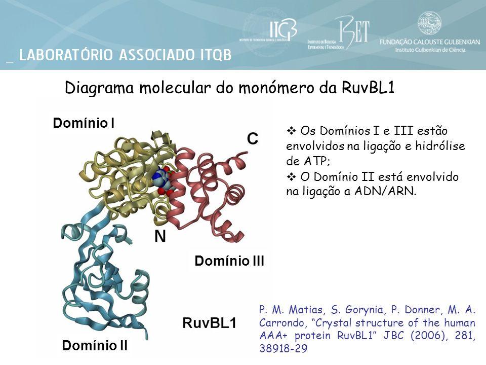 Diagrama molecular do monómero da RuvBL1