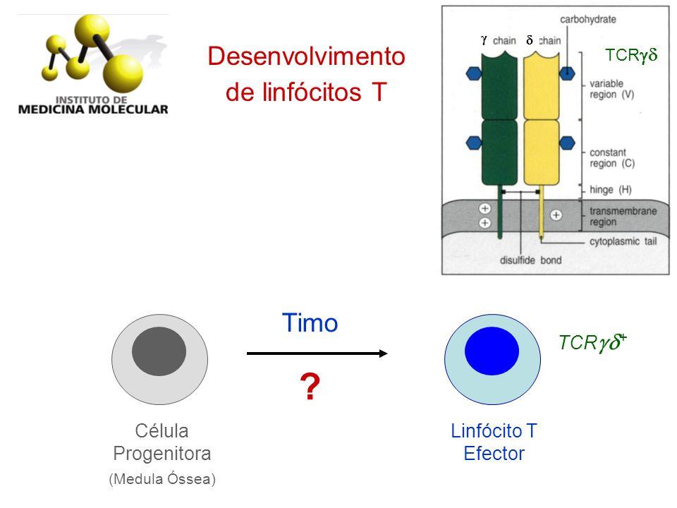 Desenvolvimento de linfócitos T Timo Linfócito T Efector Célula