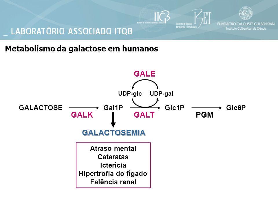 Metabolismo da galactose em humanos