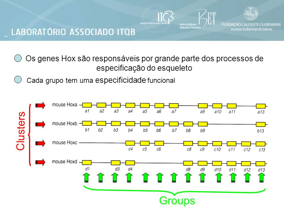 Os genes Hox são responsáveis por grande parte dos processos de especificação do esqueleto