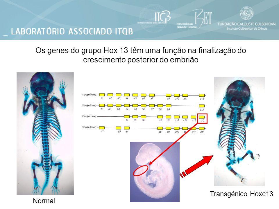 Os genes do grupo Hox 13 têm uma função na finalização do crescimento posterior do embrião