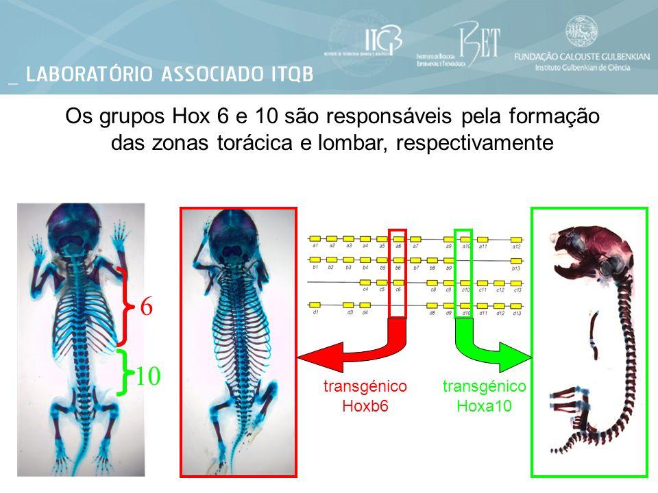 Os grupos Hox 6 e 10 são responsáveis pela formação das zonas torácica e lombar, respectivamente