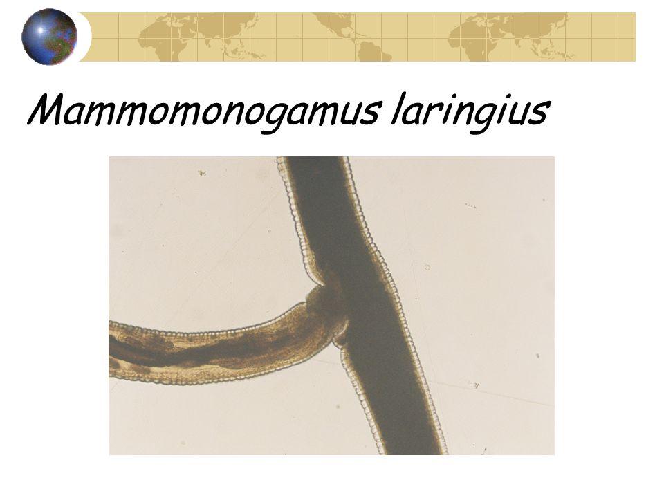 Mammomonogamus laringius