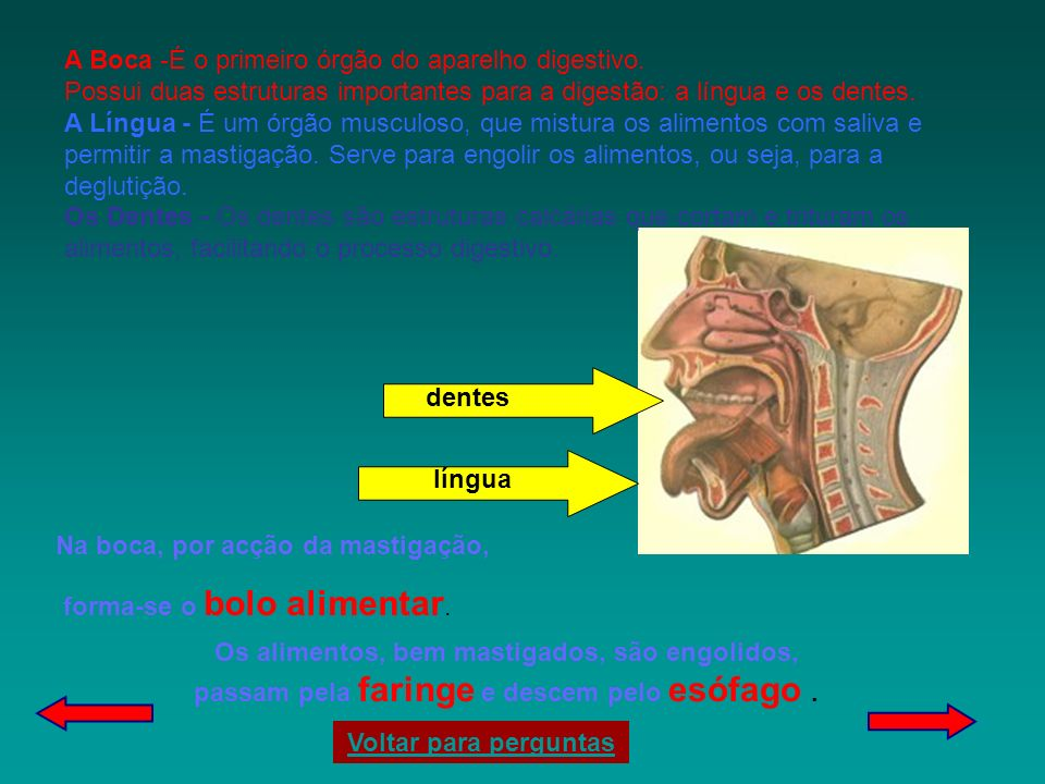 A Boca -É o primeiro órgão do aparelho digestivo.