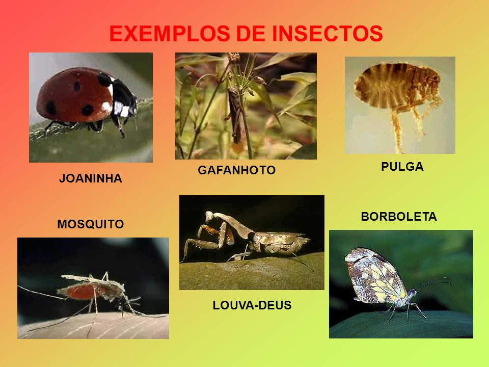 EXEMPLOS DE INSECTOS PULGA GAFANHOTO JOANINHA BORBOLETA MOSQUITO