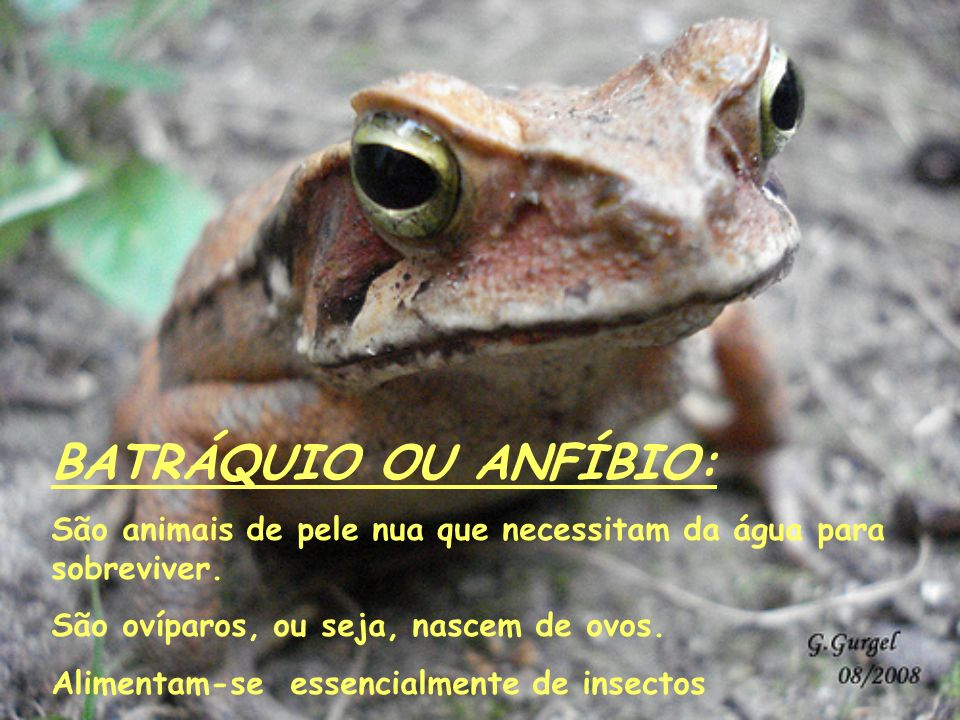 BATRÁQUIO OU ANFÍBIO:São animais de pele nua que necessitam da água para sobreviver. São ovíparos, ou seja, nascem de ovos.